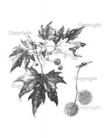 London plane leaves, inflorescences and achenes, p102 from The New Sylva. Drawing by Sarah Simblet