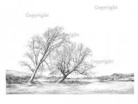 Cornish elms in East Sussex, p6-7 from The New Sylva. Drawing by Sarah Simblet